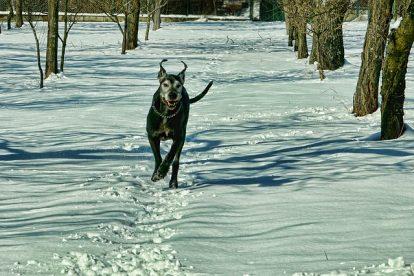 chien-neige