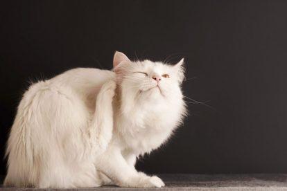 parasite-du-chat