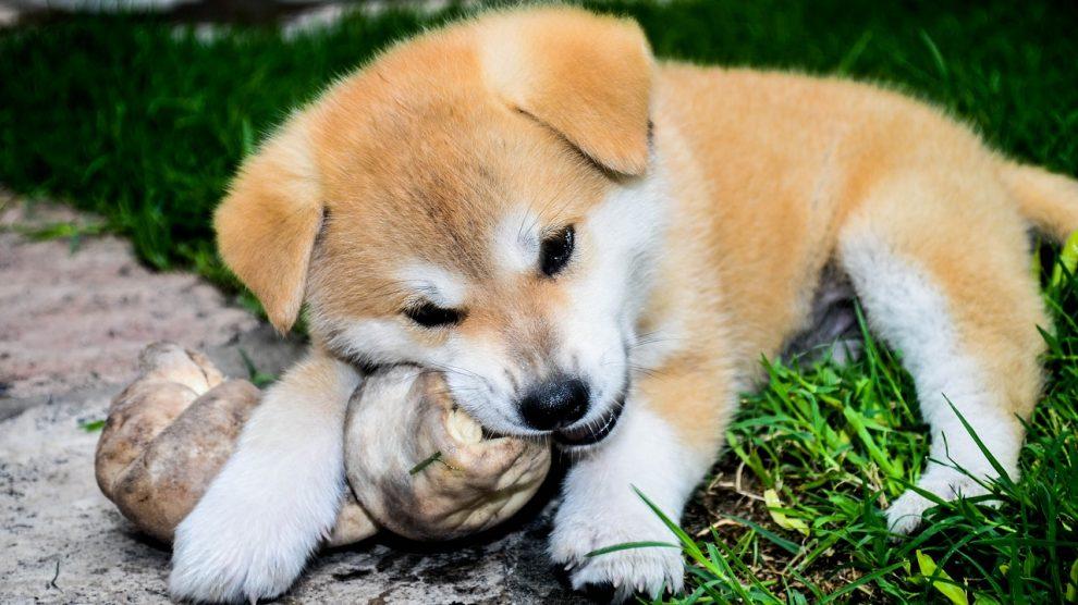 alimentation chien